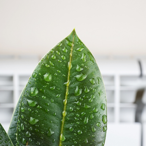 Water on a plant in a Hawaii home